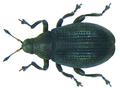 Rhamphus pulicarius (Herbst, 1795) (8370067569).png