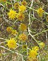 Rhanterium-epapposum-near-Jubail-SaudiArabia-15apr2009-JohnNorton.jpg