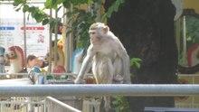 File:Rhesus macaque - 20160710.webm