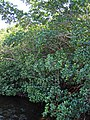 Rhizophora mangle (red mangroves) (Sanibel Island, Florida, USA) 2 (24335562742).jpg