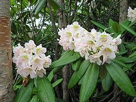 Rhododendron brachycarpum 01.jpg