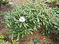 Rhododendron degronianum - University of Copenhagen Botanical Garden - DSC07547.JPG