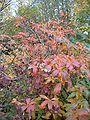 Rhododendron luteum BotGardBln1105Autumn.JPG