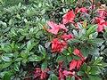 Rhododendron scabrum.jpg