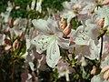Rhododendron schlippenbachii 2019-04-20 1690.jpg