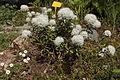 Rhododendron tomentosum 037.jpg