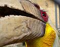 Rhyticeros undulatus (male) -face -zoo-6.jpg