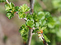 Ribes rotundifolium 233-008.jpg