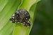 Ricania speculum-Kadavoor-2016-06-17-001.jpg