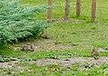 Riehler Heimstätten - Kaninchen 03.jpg