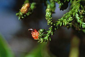 Dacrydium cupressinum - Rimu seed cones.
