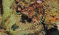 Ringed Pipefish (Doryrhamphus dactyliophorus) (6053395518).jpg