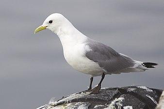Rissa tridactyla (Vardø, 2012).jpg