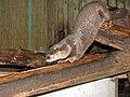 River otter - geograph.org.uk - 1907970.jpg