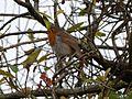 Robin (Erithacus rubecula) (8206673732).jpg