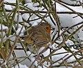 Robin (Erithacus rubecula) - geograph.org.uk - 1144549.jpg