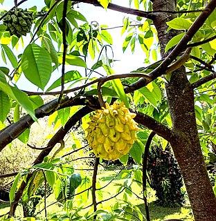 <i>Rollinia deliciosa</i> Species of tropical flowering plant