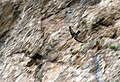 Roquerol 04 (Ptyonoprogne rupestris).jpg