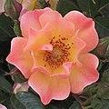 "Rosa ""Jazz"" o ""Java"". 03.jpg"