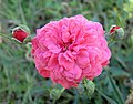 Rosa anã (242711847).jpg