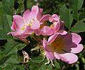 Rosa canina5.jpg