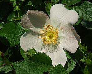 Rosa corymbifera.jpg