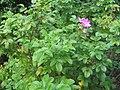 Rosa rugosa 7zz.jpg