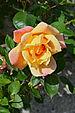 Rose3 FR 2013.jpg