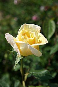 Rose Apollo バラ アポロ (5804489752).jpg