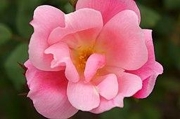 Rose Blushing Knock Out バラ ブラッシング ノックアウト (6331213665)
