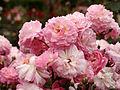 Rose Ohio バラ オハイオ (5828141517).jpg