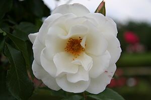 English: Unknown rose - Bagatelle Rose Garden ...
