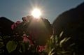 Rose in the morning (7774946680).jpg