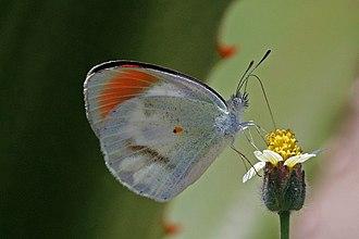 Colotis euippe - Image: Round winged orange tip (Colotis euippe complexivus) male underside