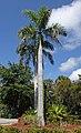 Roystonea regia (royal palms) (Sanibel Island, Florida, USA) 3 (27198822583).jpg