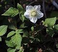 Rubus hirsutus.JPG
