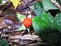 Rubus pectinellus 2.JPG