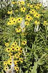 Rudbeckia hirta BLACK-EYED SUSAN (4682464152).jpg