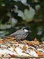 Rufous-naped Tit (Periparus rufonuchalis) (16393162173).jpg