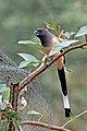 Rufous treepie (Dendrocitta vagabunda vagabunda) Jahalana 1.jpg