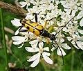 Rutpela maculata (49246838298).jpg