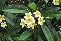 SZ 深圳 Shenzhen 南山 Nanshan 蛇口海上世界 Shekou Sea World garden plants n trees 雞蛋花 Plumeria July yellow 2017 IX1 (1.jpg