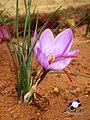 Safran flower.jpg