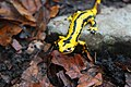 Salamandra en el parque del Gorbea.jpg