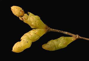 Salicornia - Salicornia bigelovii