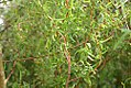 Salix matsudana Scarlet Curls 0zz.jpg