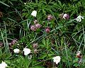 Salix myrtilloides Pink Tassels - Flickr - peganum (1).jpg