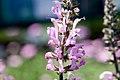 Salvia pratensis Pink Delight 2zz.jpg