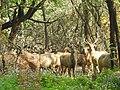 Sambar deer in City Forest Park,Chandigarh.jpg