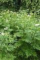 Sambucus ebulus kz01.jpg